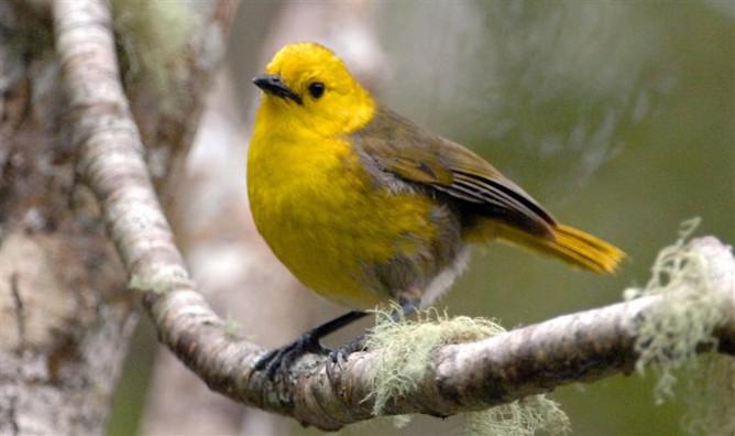 Mohua bird
